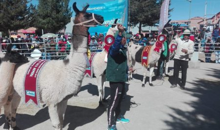 Tarija acogerá la X Expo Feria Nacional de Camélidos Sudamericanos Domésticos
